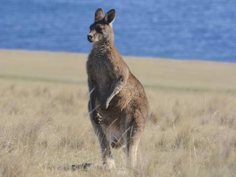 想去澳大利亚看野生动物?塔斯马尼亚州的野趣超出你想象