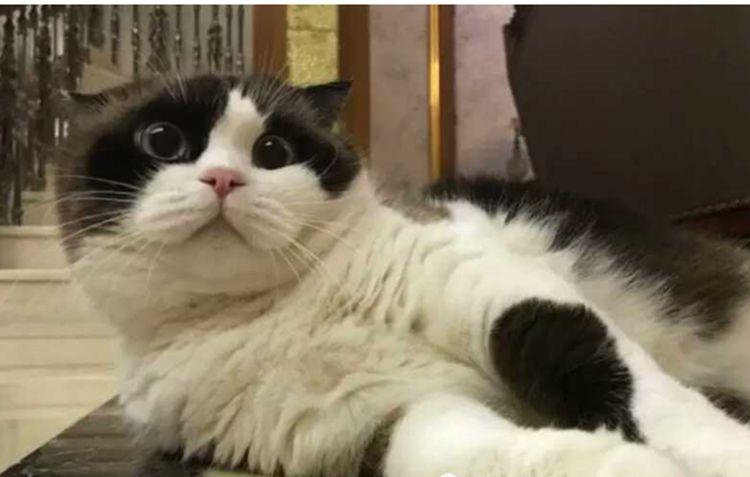 铲屎官跟猫咪说它怀孕了,猫咪一直发愣,不敢相信