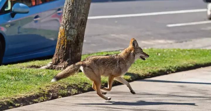 西温豪宅区惊现郊狼,13岁孩子上学遭5狼跟踪,家长吓傻