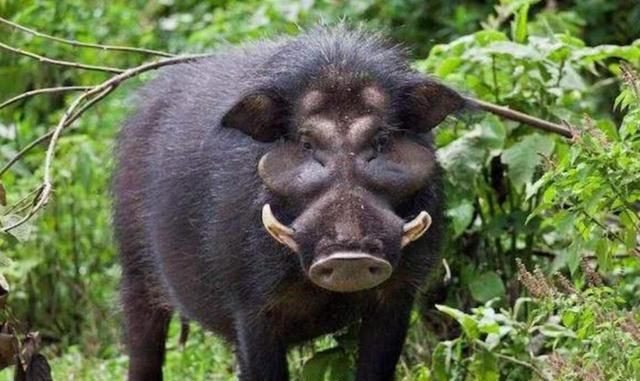 南京一野猪横穿马路撞翻面包车