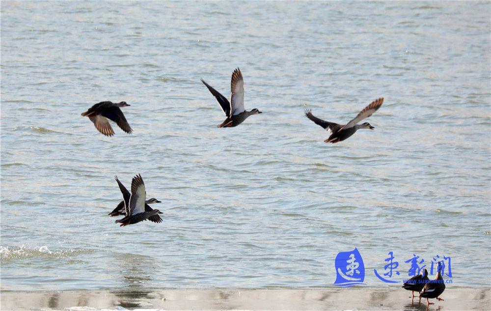 图说丨成群野鸭飞抵沭阳淮沭河越冬