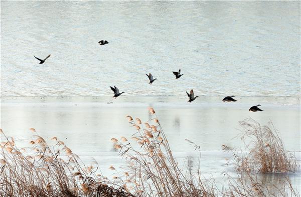 成群野鸭飞抵沭阳淮沭河越冬