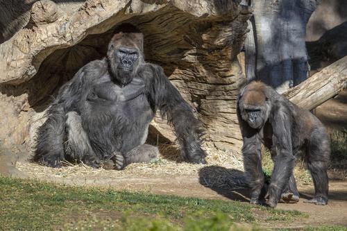 美国圣迭戈动物园多只大猩猩新冠检测呈阳性