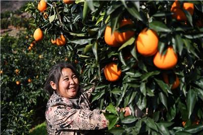 本溪日报重庆奉节脐橙丰收上市