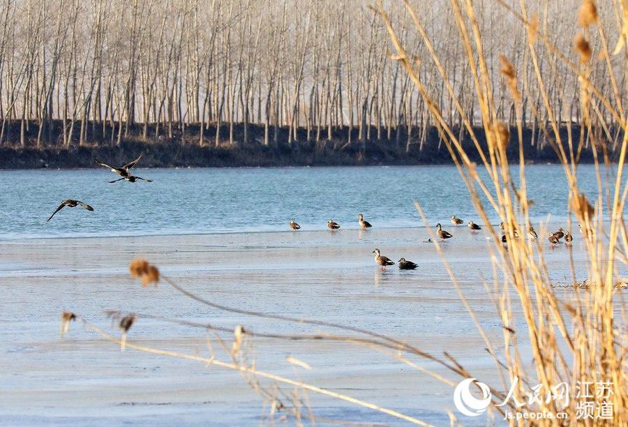 江苏沭阳:淮沭河畔冬色美 野鸭飞来不道寒