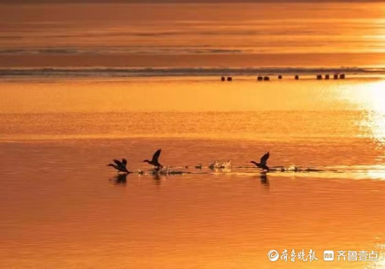 德州得月湖,每年冬天都有大批秋沙鸭来此越冬