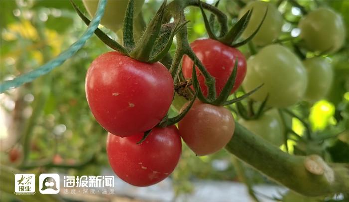 """粉贝贝、千禧、粉娘……樱桃番茄""""成团""""出道,垛石迎来新年""""番茄红"""""""