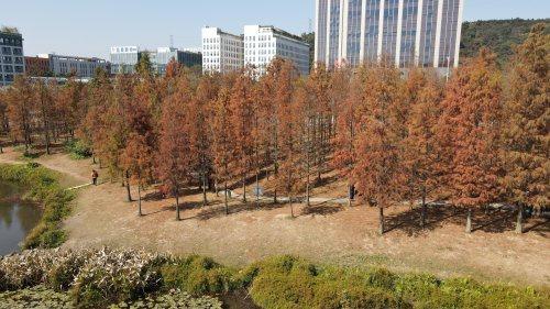 天河湿地公园落羽杉迎来最佳观赏期