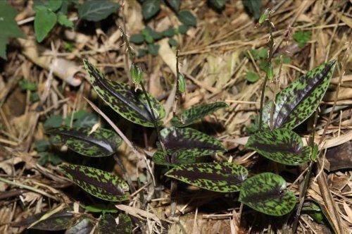 广东石门台保护区发现云叶兰属、黄兰属两新记录种