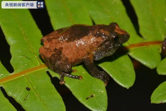 云南新增灌树蛙属2个新种——勐海灌树蛙和黄连山灌树蛙