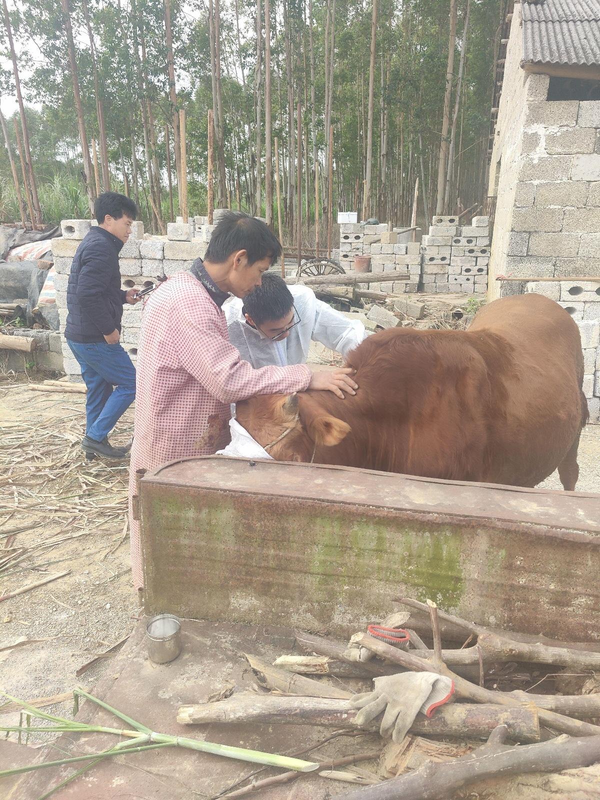 广西-东盟经开区全面开展牛结节性皮肤病防控工作