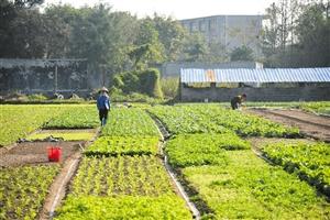气温回升好时机 种植叶菜保供应