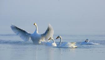 青海湖水位持续上升  越冬大天鹅数量逐年递减