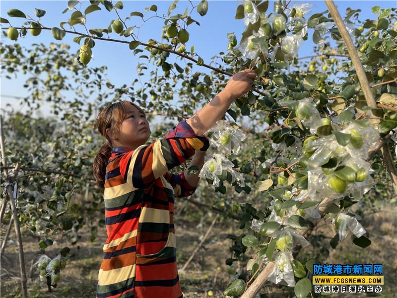 村民在护理枣树
