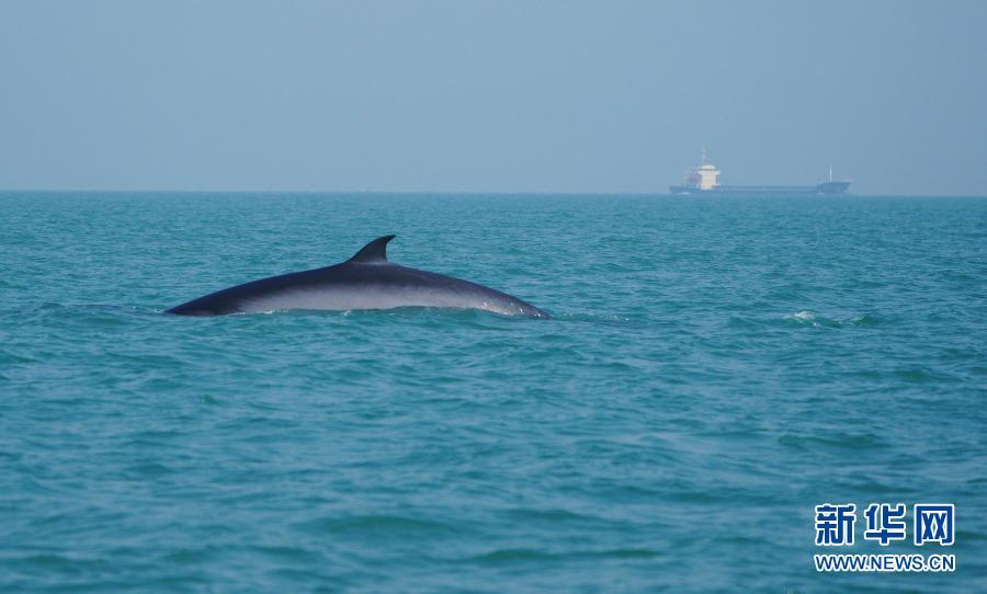 布氏鲸现身涠洲岛海域【图】
