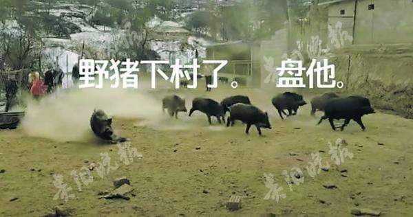 仁怀一村庄 常有野猪来袭扰