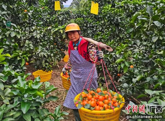 桂平弩滩村:扶贫产业砂糖桔喜获丰收