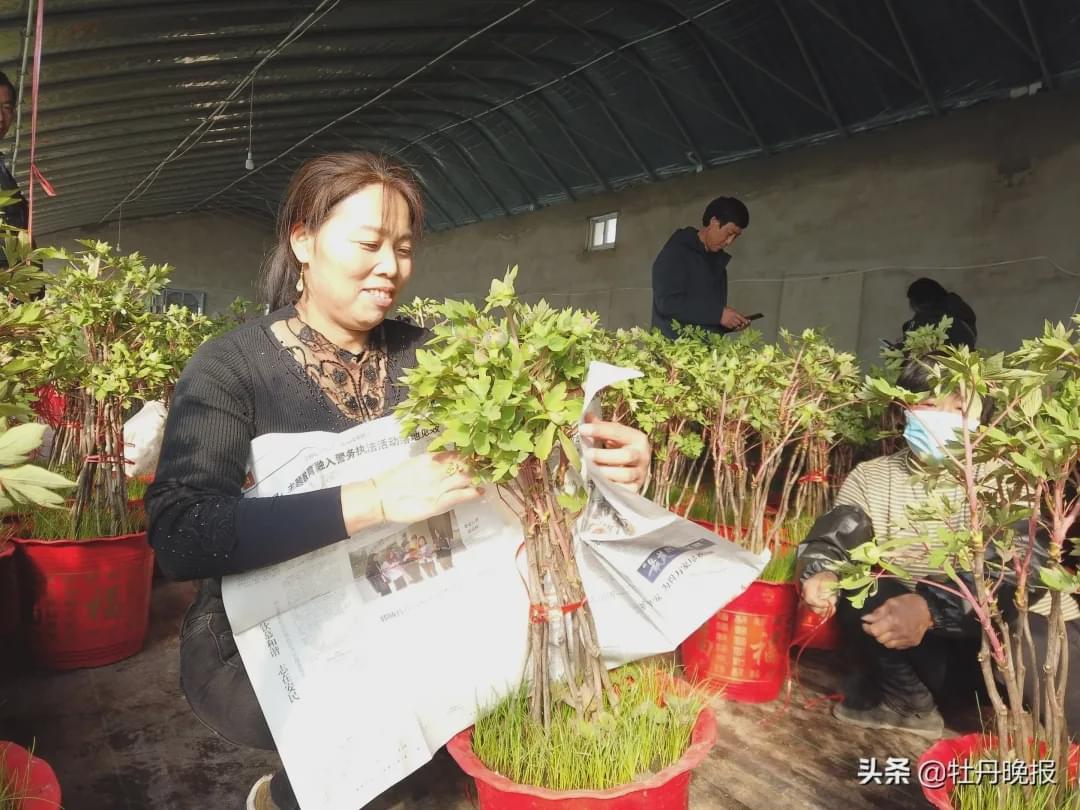 春节将至,菏泽催花牡丹畅销国内外