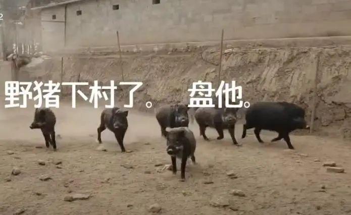 """贵州仁怀这个村野猪成群进村!当地村委会:""""很头疼"""""""