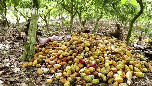 科特迪瓦10万吨可可豆滞销