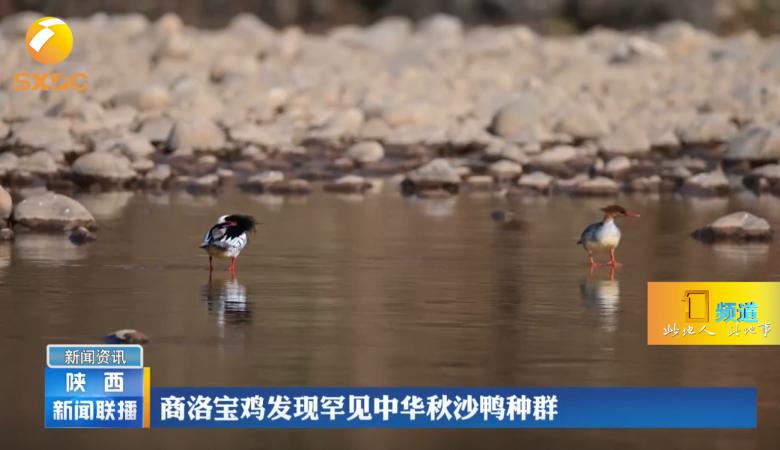 【大美陕西】罕见!商洛宝鸡发现中华秋沙鸭种群