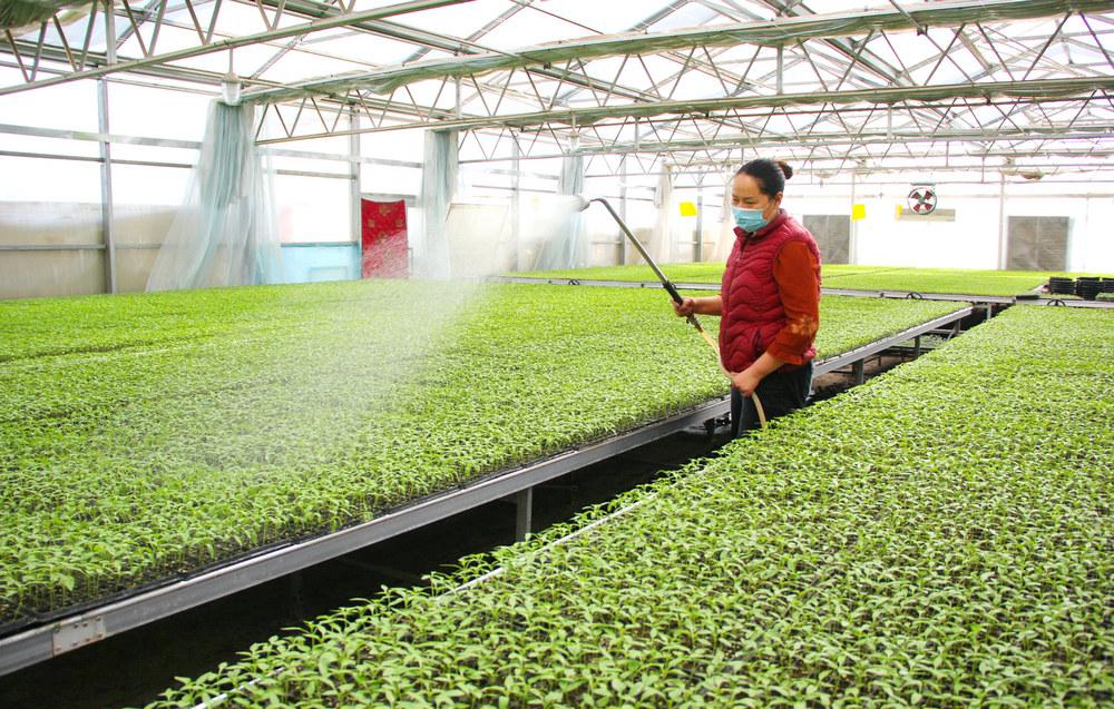 智能化温室育苗促增收