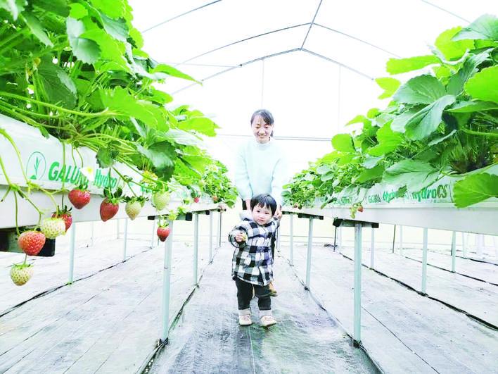 """露天草莓基地:  畅享""""莓""""好时光"""