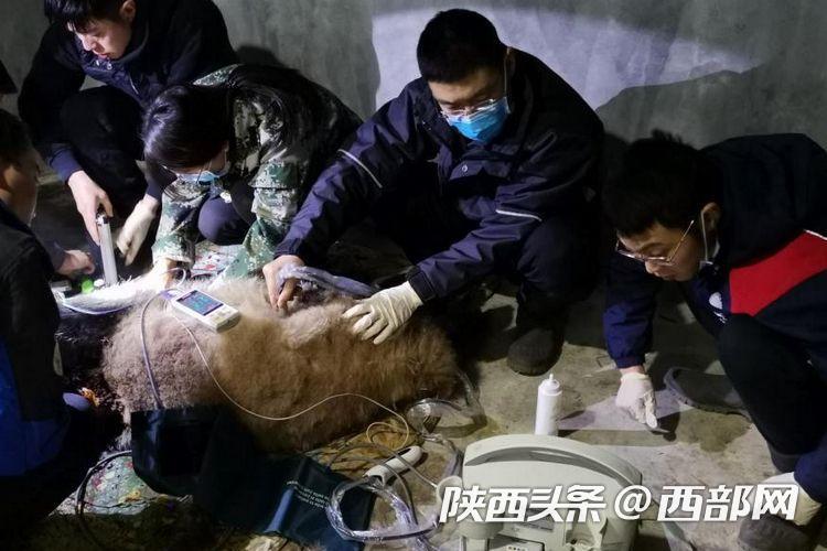 陕西省珍稀野生动物救护基地救治一只受伤野生秦岭大熊猫