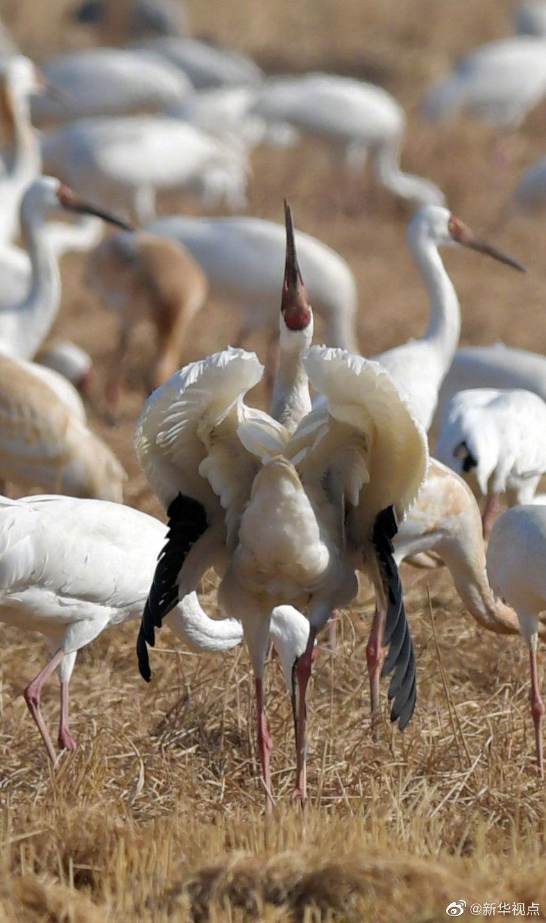 1000多只白鹤在稻田里觅食……