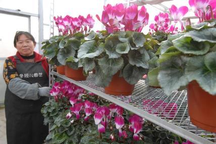 即墨:村民变身工人 花卉产业助农增收