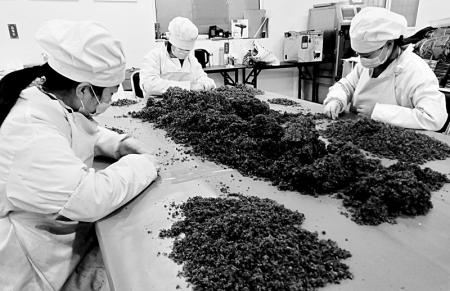 药茶产业助农增收