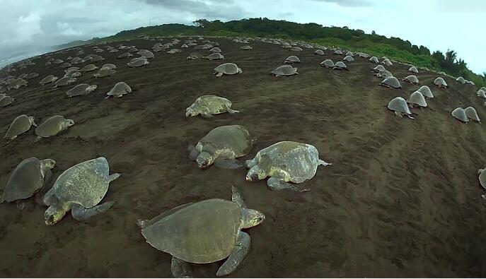 超逼真机器海龟潜伏龟群 拍摄到海龟产卵筑巢珍贵资料