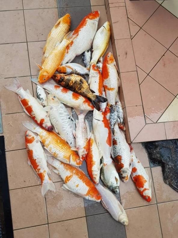 家中锦鲤全死了,大马女子干脆煮鱼汤,结果汤汁奶白,鲜美无比