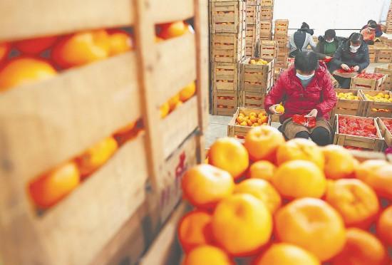 福建永春:芦柑丰收忙上市