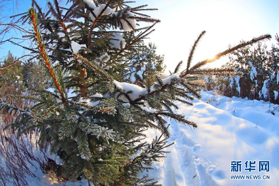 白俄罗斯:林中雪景