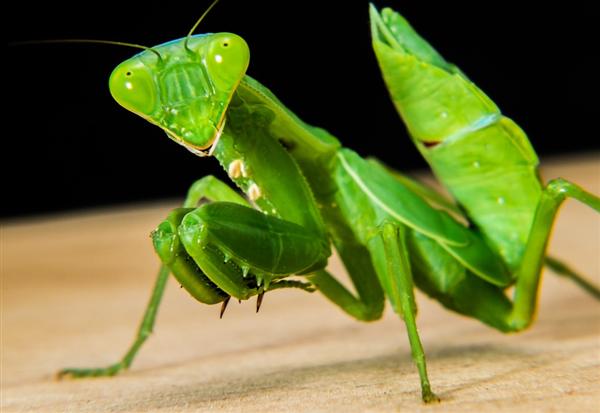 交配后就吃掉雄性:科学家找到螳螂性食同类的原因