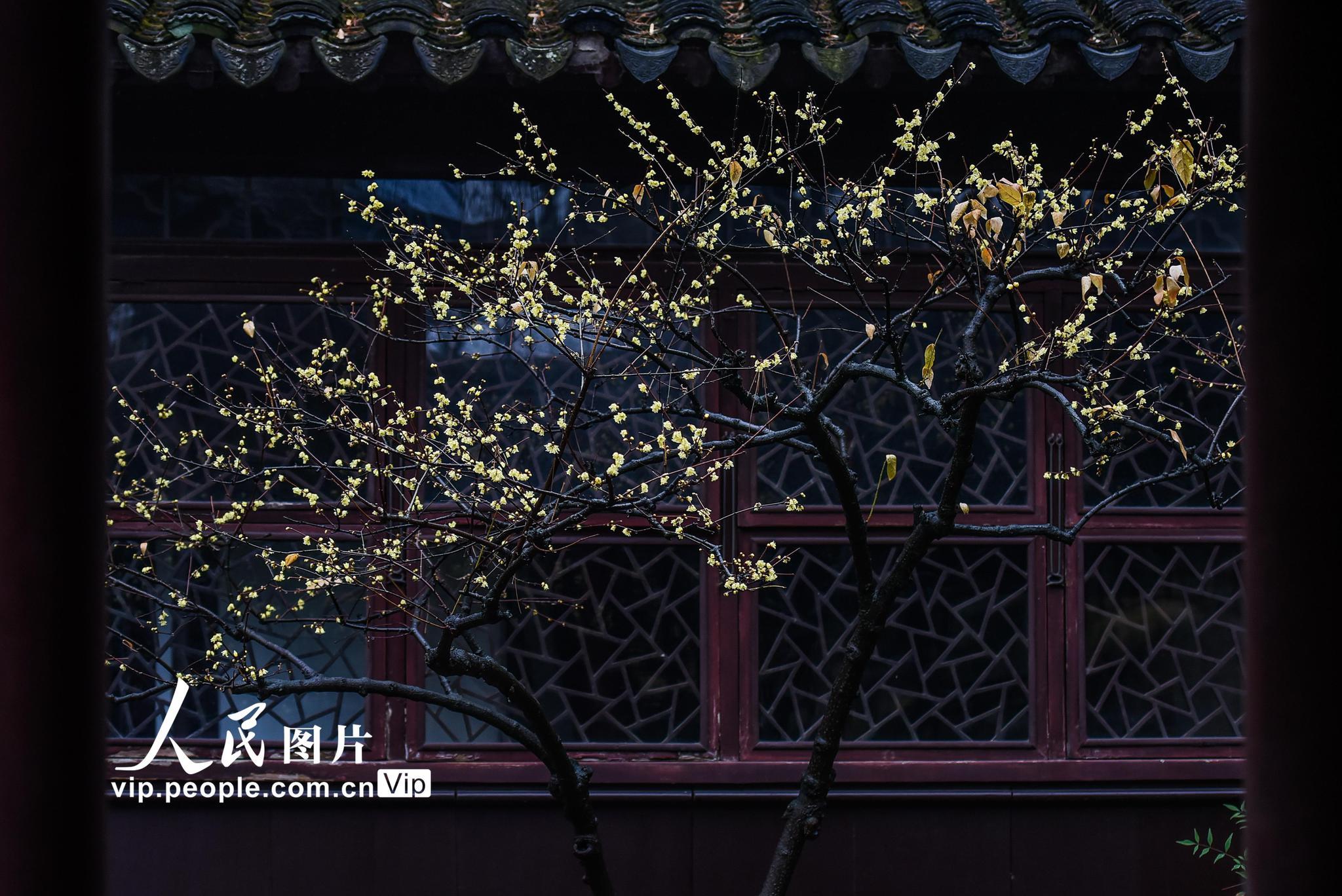 苏州:耦园蜡梅进入最佳观赏期