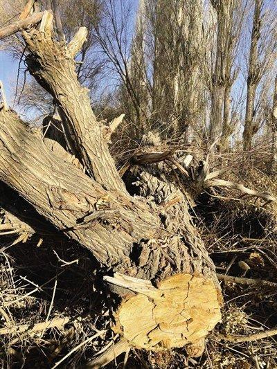 敦煌万亩沙漠防护林遭剃光头式砍伐…