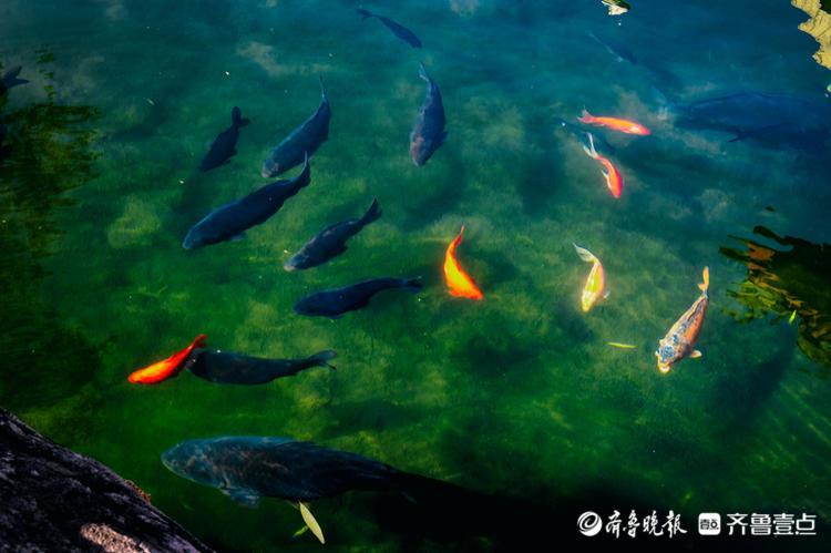 五龙潭公园里,一天到晚游泳的鱼