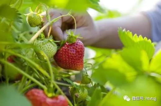 【踏青记】莓红樱绿颜值在线,新城区这些大棚等你来探!