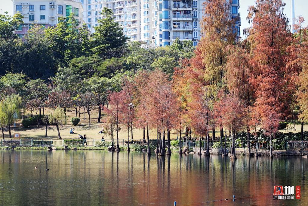深圳龙潭公园:落羽杉红了,随手一拍就是大片(组图)