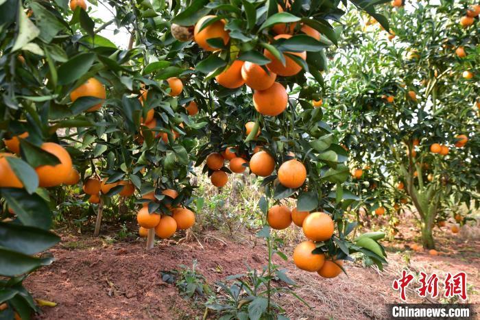 上思县:红香橙丰产遇滞销 果农急盼销路