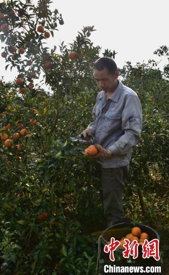 广西上思县:红香橙丰产遇滞销 果农急盼销路