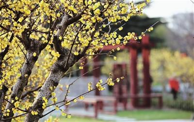 世纪公园赏梅游园会2月1日开幕