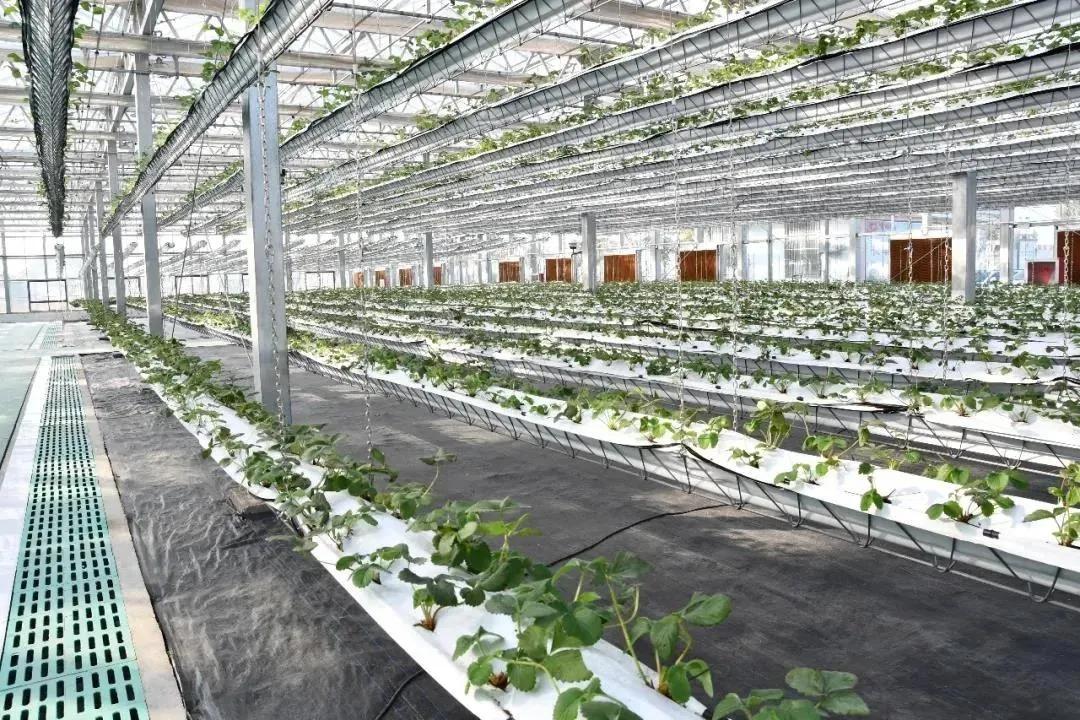 长丰草莓无土栽培种植系统