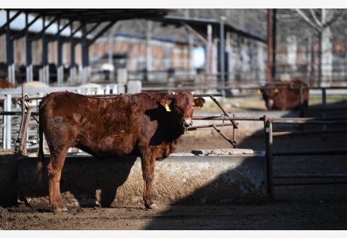"""中国牛肉进口创历史新高:牛年能实现""""牛肉自由""""吗图片"""