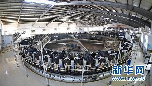 在宁夏中卫市沐沙牧场,奶牛在自动转盘式奶台上挤奶(2020年9月14日摄)。新华社记者 王鹏 摄