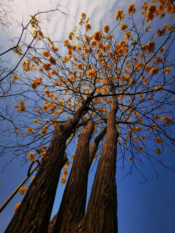 狮山公园的黄花风铃木和桃花也开啦,快趁着好天气去赏花吧