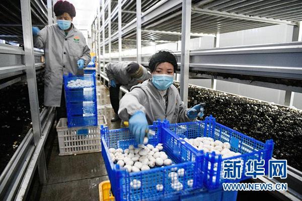 农民在宁夏闽宁镇双孢菇栽培示范基地采摘蘑菇(2020年3月18日摄)。新华社记者 王鹏 摄