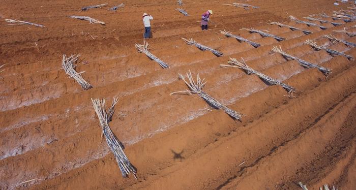 大新县桃城镇群众利用有利时节种植甘蔗